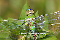 06361-005.03 Common Green Darner (Anax junius) teneral (juvenal) Marion Co. IL