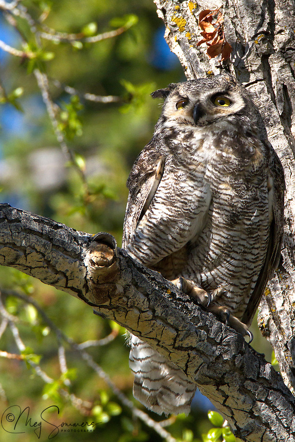 "Found throughout the Americas, the Great Horned owl (Bubo virginianus) has, over time, developed into 14 different specific subspecies by location. Yellowstone's population are a part of the ""Rocky Mountains"" subspecies. They are distinguishable from the others by their mottled feet. Mammouth, Yellowstone."