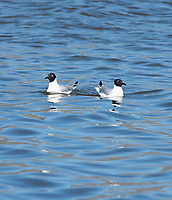 Two Bonaparte's Gulls, Larus philadelphia, swimming on Lake Ewauna, near Klamath Falls, Oregon