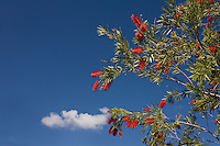 Red Bottle Brush bush against blue sky