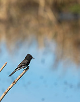 Black Phoebe, Sayornis nigricans, perches beside a pond in Colusa National Wildlife Refuge, California