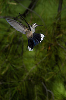 Blue-throated Hummingbird in Flight, Lampornis clemenciae; Chiricahua Mountains, Arizona