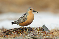 Adult Red Knot (Calidris canutus) in alernate (breeding plumage) near its nest. Seward Peninsula, Alaska. June.