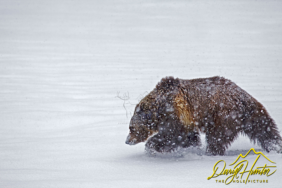 Grizzly Bear moving throgh the snow during spring snow in Yellowstone National Park.