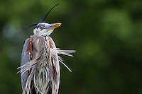 Great Blue Heron (Ardea herodias wardi) in breeding plumage at the Wakodahatchee Wetlands in Delray Beach, Florida.