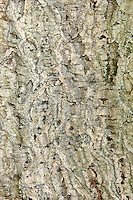 Cork Oak Quercus suber (Fagaceae) HEIGHT to 17m<br /> Medium-sized evergreen oak forming a rounded tree. BARK Thick, pale greyish-brown with deep fissures and ridges if left to mature, and a soft corky texture. BRANCHES Numerous, large and twisted, arising low down on bole; in very old trees some branches may trail on ground. LEAVES Resemble holly leaves, with spiny tips to shallow lobes; to 7cm long, on 1cm petioles. Mature leaves are dark green and smooth above, but paler, almost grey and downy below. REPRODUCTIVE PARTS Acorns are 2&ndash;3cm long, egg-shaped, and borne in cups covered with long projecting scales. STATUS AND DISTRIBUTION Native of Mediterranean region, introduced here and grown for ornament as far north as Scotland