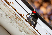 Acorn Woodpecker (Melanerpes formicivorus) storing acorn in the side of old ranch house.  CA.  Winter.