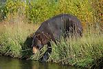 Black Bear on River Bank