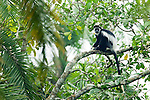 Mantled Colobus (Colobus guereza) in rainforest tree, Bigodi Wetland Sanctuary, Magombe Swamp, western Uganda