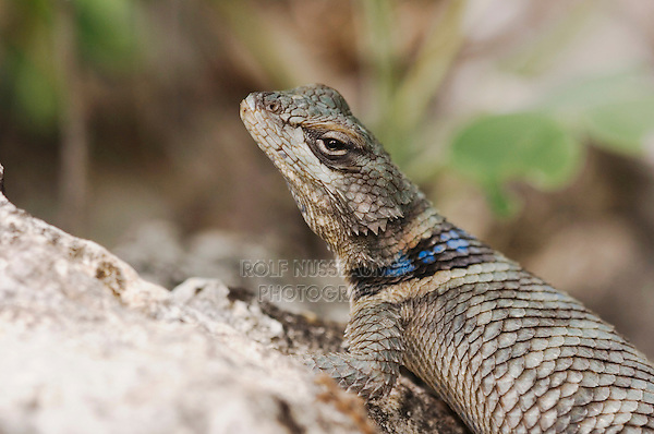 Crevice Spiny Lizard, Sceloporus poinsetti, adult, Uvalde County, Hill Country, Texas, USA, April 2006