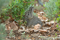 Young Pygmy Rabbit in Oregon