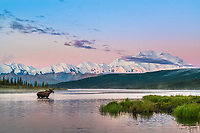 Cow moose feeds on aquatic grass in Wonder Lake early in the morning just as the sun rises on the summit of Denali, Denali National Park, Alaska.