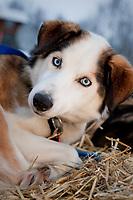 David Sawatzky's dog *Redline* rests at the Nikolai checkpoint during Iditarod 2009