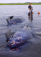 Scott Landrey, of the Center for Coastal Studies, pulls three dead pilot whales away from the remaining live whales after over 30 of the pilot whales saved yesterday at Chapin Beach in Dennis restranded in a remote area of Wellfleet near Sunken Meadow Beach Tuesday morning.