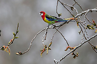 Eastern Rosella (Platycercus eximius eximius), male foraging in a tree in Rymill Park in Adelaide, South Australia.