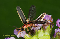 1C24-766z  Pyralis Firefly - Lightning Bug - Male with four wings flying from flower - Photinus spp.
