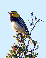 Adult male golden-cheeked warbler singing