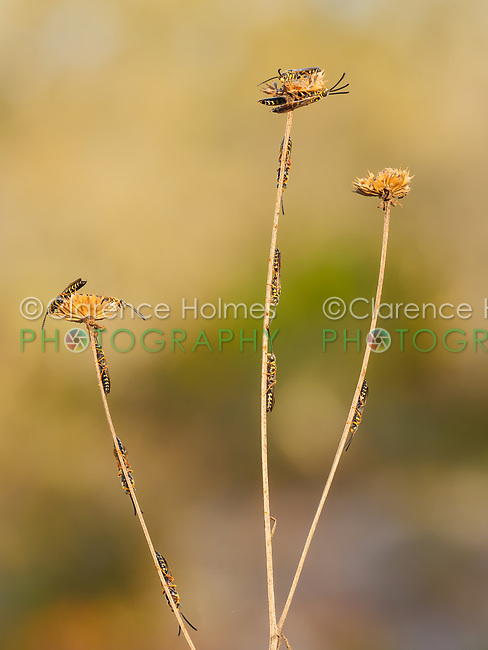 Male Thynnid Wasps (Myzinum maculatum) roost on coastal plain honeycombhead (Balduina angustifolia).  Males congregate on vegetation during low temperatures of early morning, waiting for females.