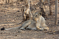 Asiatic Lion in Sasan Gir, Gujarat, India