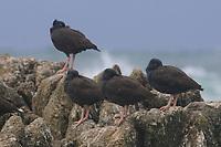 Flock of Black Oystercatchers (Haematopus bachmani) roosting on coastal rocks. Monterey County, California. October.