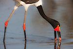 Botswana, Moremi Game Reserve, Okavango Delta, Saddle-billed stork (Ephippiorhynchus senegalensis)