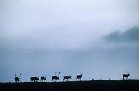 Caribou herd treks across a mountain ridge, Denali National Park, Alaska