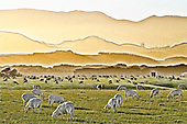 On a fine autumn morning sheep graze the paddocks below the layered hills of the Aorangi Ranges in Southern Wairarapa..This New Zealand Fine Art Landscape Print, available in four sizes on either archival Hahnemuhle Fine Art Pearl paper or canvas, is printed using Epson K3 Ultrachrome inks and comes with a lifetime guarantee against fading..All prints are signed and numbered on the lower margin and come with my 100% money back guarantee on the purchase price, should you not be  completely happy with the quality of the delivered print or canvas.