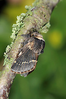 December Moth Poecilocampa populi Length 17-19mm. A sombre-looking moth with a hairy body. Adult has dusky-brown wings, with buff and reddish outer margins and pale cross lines. The body is hairy; front of head is whitish. Male is smaller than female. Flies mainly November-December. Larva feeds on a range of deciduous trees. Widespread and common across much of Britain.
