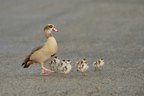 Egyptian Goose (Alopochen aegyptiaca), adults with chicks crossing street, Hill Country, Central Texas, USA