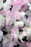 Lathyrus 'Anniversary' pink and white bicolor picotee bicolour sweetpeas fragrant annual climbing vine flowers
