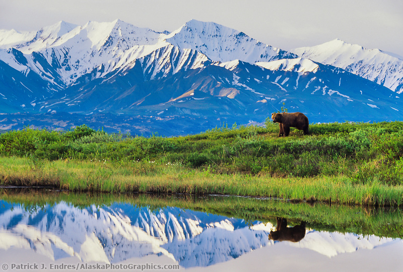 Boar grizzly, reflection in kettle pond, Alaska mountain range, Denali National Park, Alaska