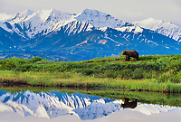 Boar grizzly, reflection in kettle pond, Alaska mountain range, Denali National Park, Alaska