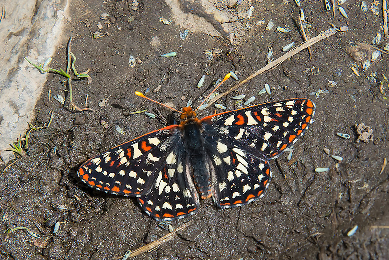 Typical coloration of the northwestern form of the variable checkerspot butterfly drinking from the mud at the side of a creek, photographed here in Kittitas County, Washington.
