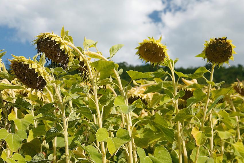 Tournesol or sunflower