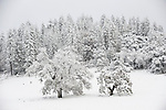 Snow covered oaks in a meadow by the woods.