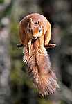 Pictured:    A red squirrel perfects its Superman pose as it soars through the air while hunting for food.<br /> <br /> The bushy-tailed animal stretched out its paws as it leapt 5ft across tree branches to grab nuts.<br /> <br /> The rodent was one of a handful of squirrels daring enough to make the jump from the trees to reach the feast.<br /> <br /> Amateur photographer Gary Bruce has been getting up close to the squirrels which roam within woodland in the Scottish Highlands.  SEE OUR COPY FOR FULL DETAILS.<br /> <br /> Please byline: Gary Bruce/Solent News<br /> <br /> © Gary Bruce/Solent News & Photo Agency<br /> UK +44 (0) 2380 458800