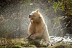 Ours Kermode. Baptisée mooksgmol ou ours esprit par les Nord amérindiens, cette étrange créature est un ours noir blanc. Ile de Gribbel. Ce n est ni un albinos ni un ours polaire,mais une sous espece blanche de l ours noir nord americain  Du fait de son apparence fantomatique, les Amerindiens ne l'ont jamais chasse et ont longtemps cache son existence aux trappeurs qui sillonnaient les forets de la cote. Un secret si  bien garde que son existence na ete confirmee par le monde scientifique quen 1904. Aujourd'hui on estime qu entre 400 à 1000 ours esprits vivent dans la foret pluviale qui setend entre lAlaska et le nord de l ile de Vancouver. ..Spirit bear.The Kermode bear (Ursus americanus kermodei also known as a spirit bear for the Native tribes of  Britsh Colomba is a subspecies of the American Black Bear. They are not albinos and not any more related to polar bears. the spirit bear population is estimated at 400-1000 individuals. Gribbel island