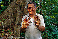 Native Sharanahua Indian at the base of a rare mahogany tree (Siwetenia macrophylla), holding mahogany seeds and seedpod, primary lowland tropical rainforest, Alto Purus National Park, Ucayali, Peru.