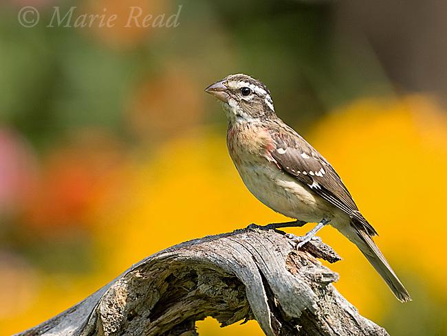 Rose-breasted Grosbeak (Pheucticus ludovicianus) juvenile male in late summer, New York, USA