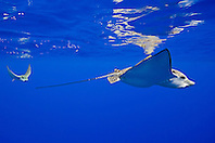 a pair of spotted eagle rays, Aetobatus narinari, pregnant female and mate, Kona Coast, Big Island, Hawaii, USA, Pacific Ocean