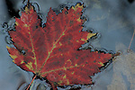 Red Maple Leaf in Water - from GSMA scan for 2008 Smokies calendar