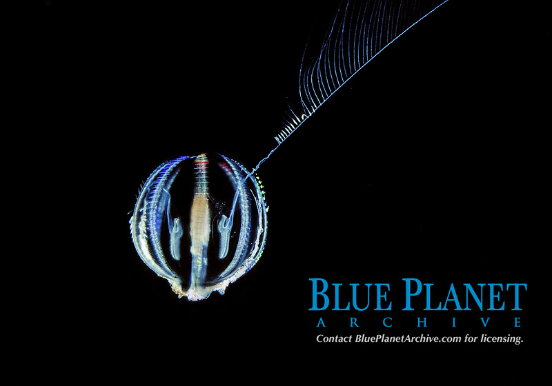 sea gooseberry, cydippid ctenophore, with one tentacle on mouth to collect food, Pleurobrachia bachei, Monterey Bay, California, USA, East Pacific Ocean