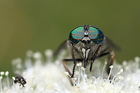 Front view of a fly showing his big green eyes on a blurred background