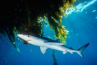blue shark, Prionace glauca, swimming under kelp paddy, San Diego, California, USA, Pacific Ocean