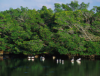 Mangroves with feeding Waders and Raccoons, J. N. Ding Darling National Wildlife Refuge, Sanibel Island, Florida, December 1998