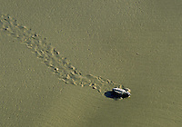 Kemp s Ridley Sea Turtle (Lepidochelys Kempi) hatchling release. Turtle leaves tracks in the wet sand. Texas USA Padre Island National Seashore.