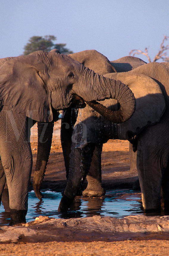 A herd of BULL ELEPHANTS drink at a watering hole in the SAVUTI MARSH (dried up in the 1960's) - CHOBE NATIONAL PARK, BOTSWANA