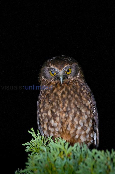 Southern Boobook Owl (Ninox novaeseelandiae) showing nictitating membranes, Kauri Park, North Island, New Zealand.