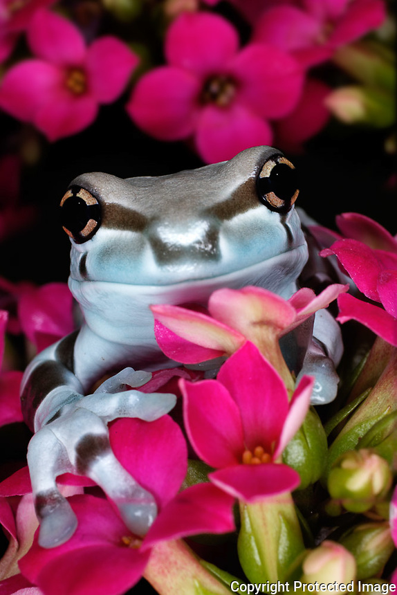 Amazon Milk Frog, Trachycephalus resinifictrix