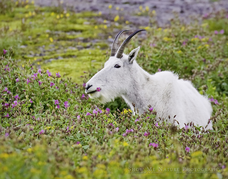 Mountain Goat in patch of wildflowers